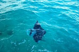 Manta - Flora and fauna Sun Reef