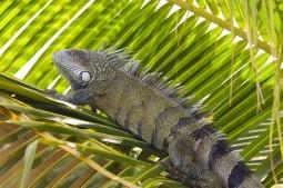 Leguaan - Flora en Fauna Sun Reef